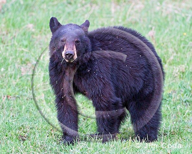 Photo of black bear feeding on grass.
