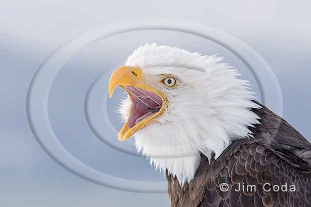 Photo of a bald eagle screaming.