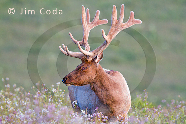 Photo of a bull tule elk among spring flowers.