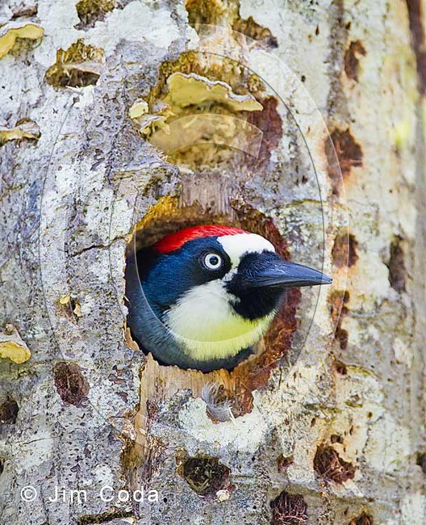 Photo of an acorn woodpecker peering out of its nest cavity.