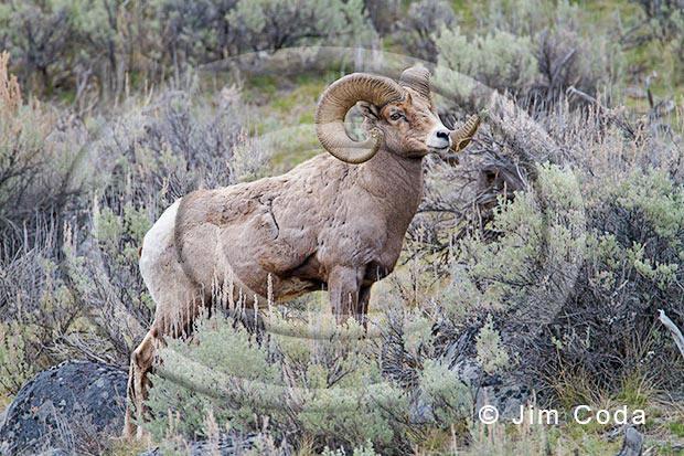 Photo of bighorn ram near the Yellowstone River.