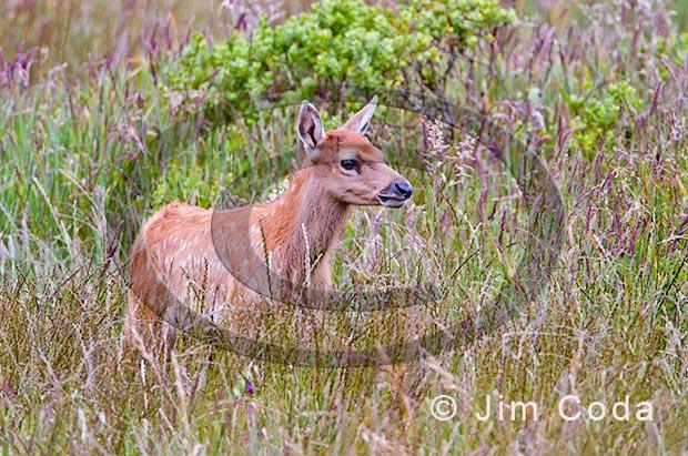 Photo of tule elk calf.