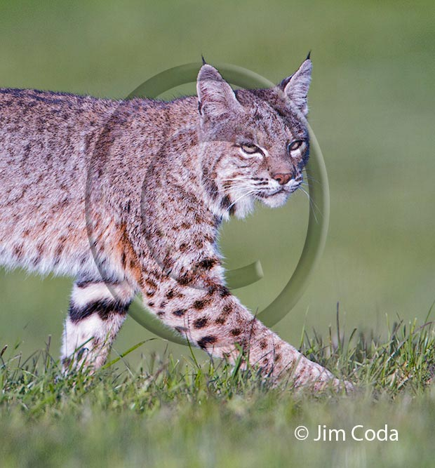 Photo of a bobcat walking across a field.