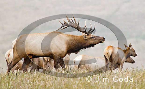 Photo of a bull tule elk with baling twine caught in his antlers.