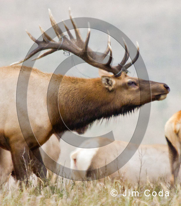 Close-up photo of a bull tule elk with baling twine caught in his antlers.