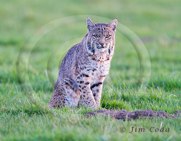 Photo of a bobcat daydreaming.