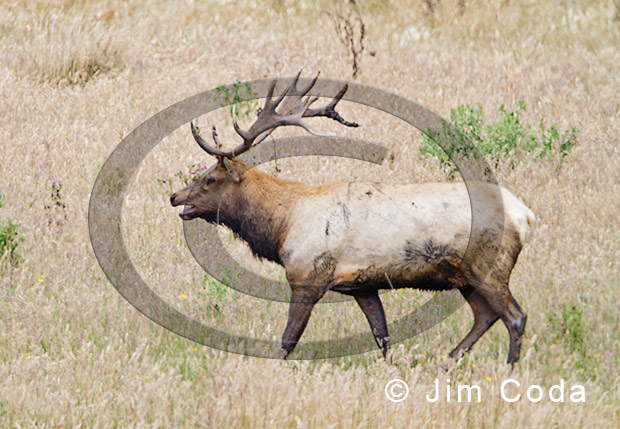 Photo of a bull tule elk after a fight.
