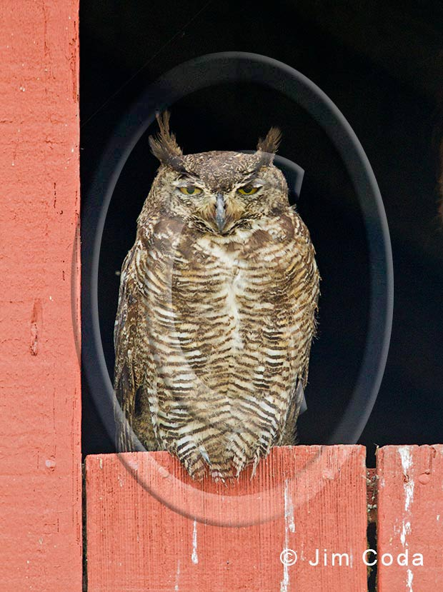Photo of a great horned owl sitting in a barn window.