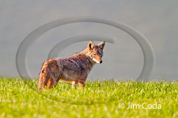 Photo of a coyote looking back at sunset.
