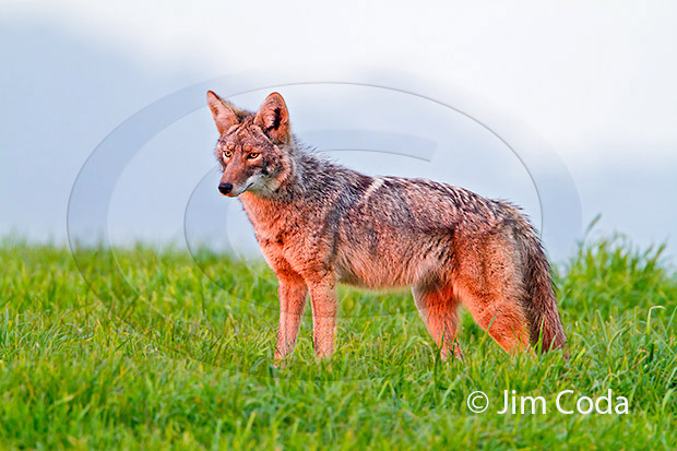 Photo of a coyote stopping in a rancher's field at sunset.