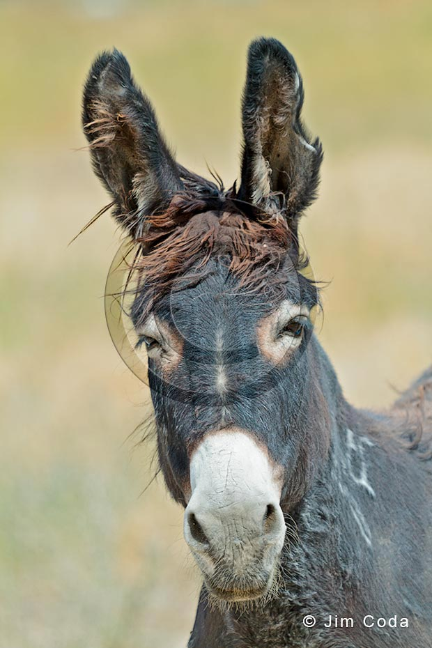 Photo of a mule staring at the camera.