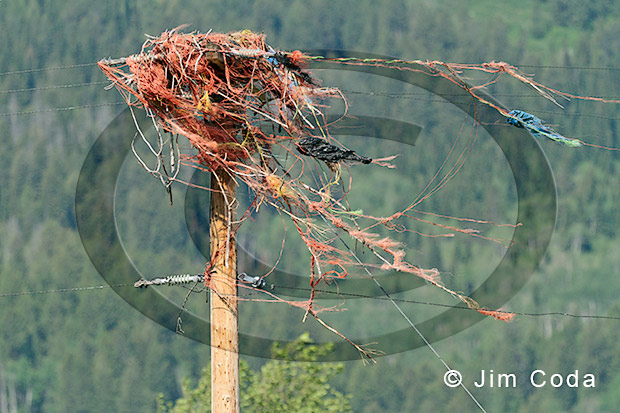 Photo of osprey nest made up mostly of baling twine.