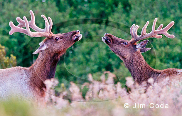 Photo of two tule elk bulls facing each other on a game trail.