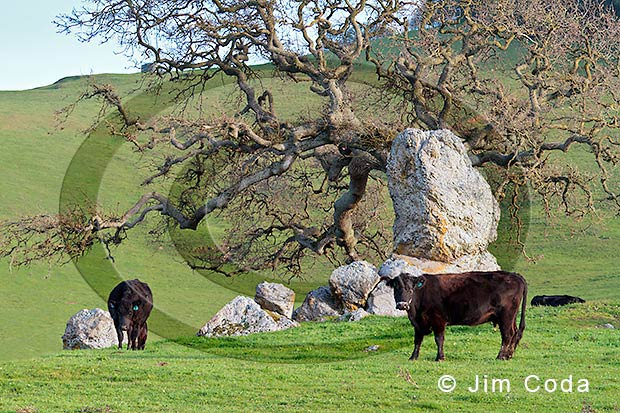 Photo of cows grazing at sunset near an oak tree that looks like it grows out of a rock in Petaluma, California.