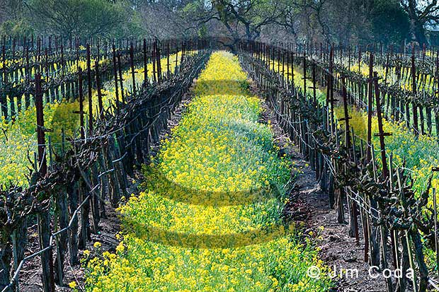 Photo of mustard plants which are common in vineyards in winter.