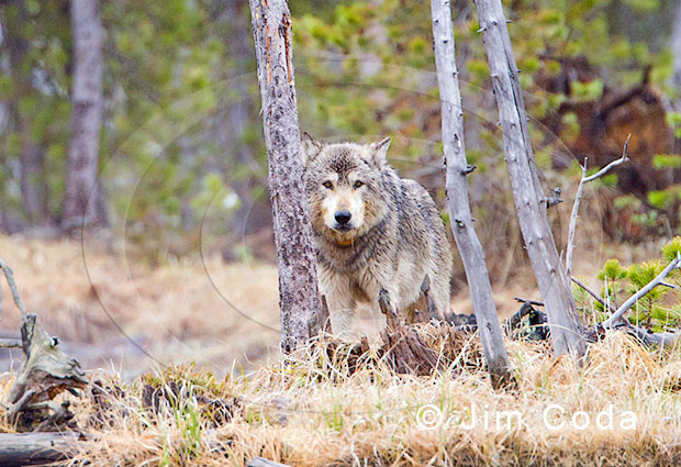 Photo of a male wolf standing near the remains of an elk it had killed.
