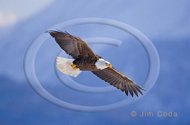Photo of a bald eagle soaring over Kachemak Bay, Alaska.