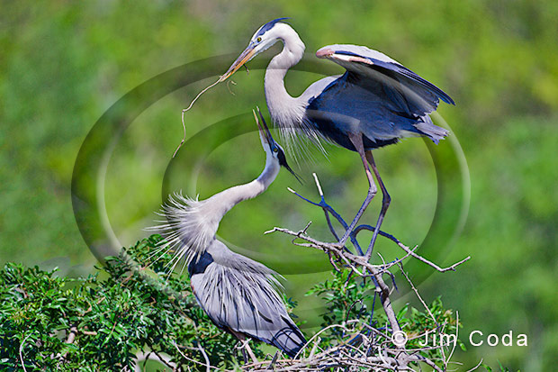 Photo of a pair of great blue herons going through nesting riutal.