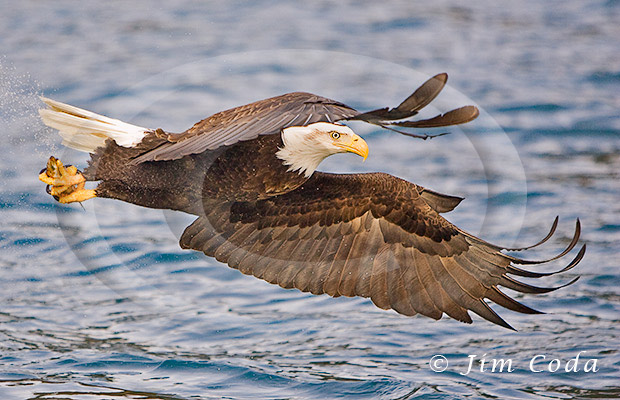 Photo of a bald eagle grabbing a fish from the water.