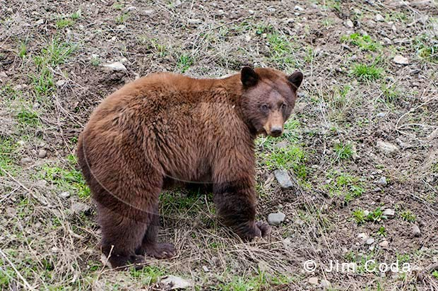 Photo of cinnamon black bear.