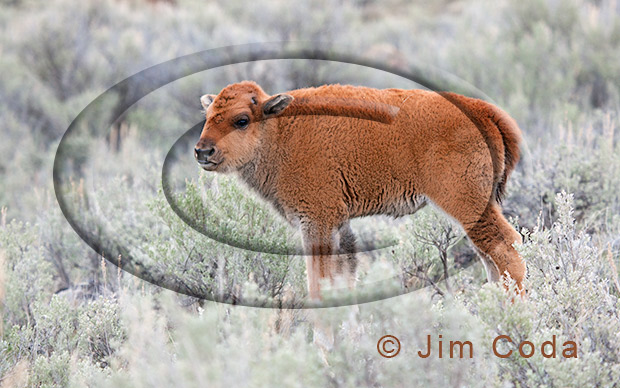 Photo of a bison calf.
