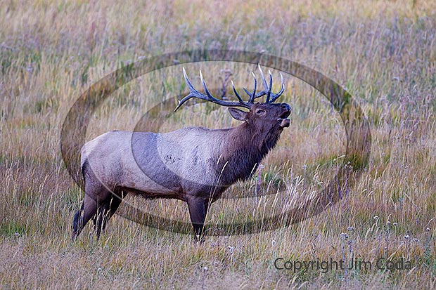 Photo of bull elk.