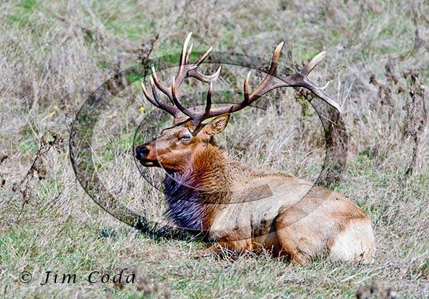 Photo of a tule elk bull at end of rut.