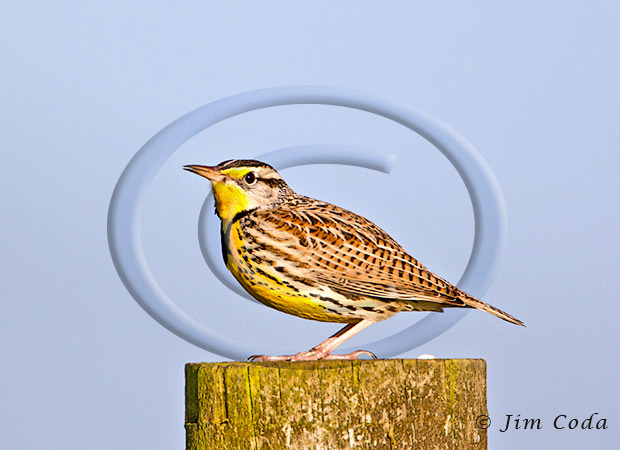 Photo of a western meadowlark sitting on a fence post on the Tomales Penisnsula.