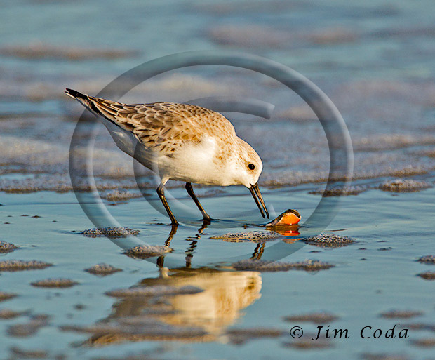 Photo of a sandpiper checking the remains of a shellfish for something to eat.