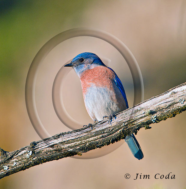 Photo of a western bluebird roosting near the Pierce Point Ranch buildings.