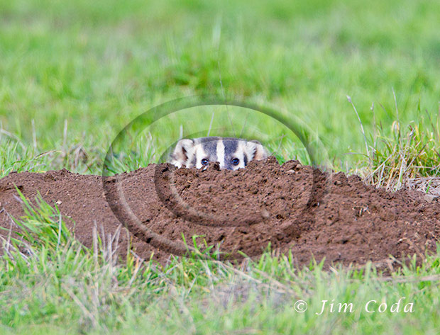 Photo of a badger peeking from its burrow.