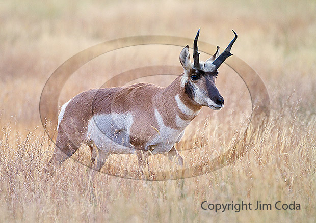Photo of a pronghorn buck during the rut.