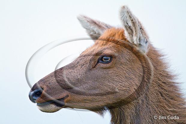 Photo of a tule elk cow.