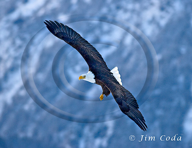 Photo of a bald eagle turning left.