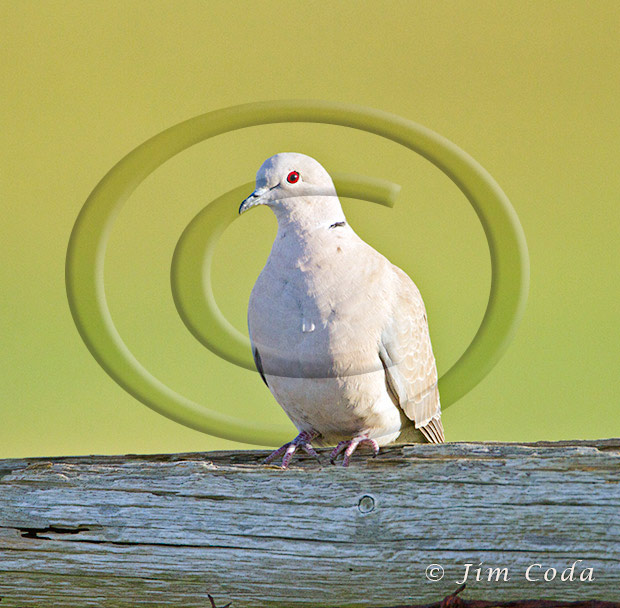 Photo of a Eurasian-collared Dove.