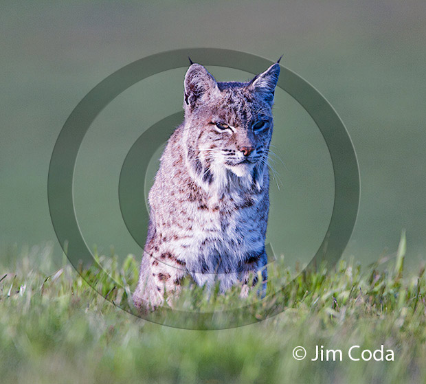 Photo of a bobcat looking at the camera.