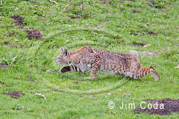 Photo of a bobcat stalking its prey.