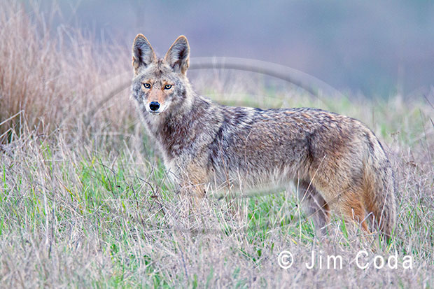 Photo of a coyote at Point Reyes.