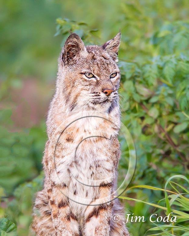 Close-up photo of a bobcat.
