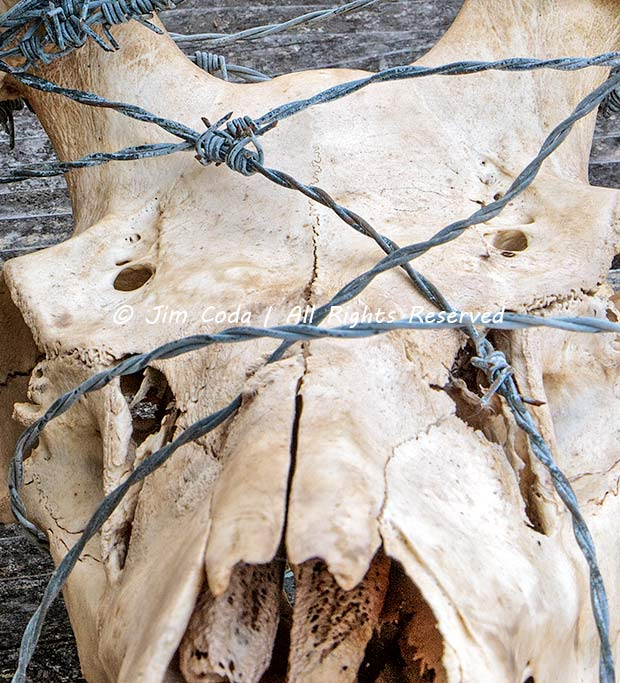 Photo of elk wearing a headdress of barbed wire.