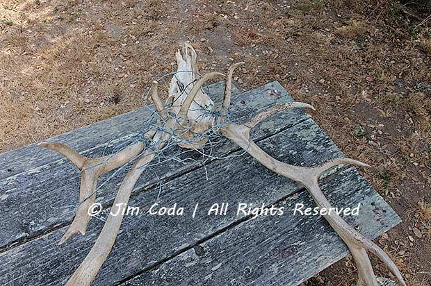 Photo of a dead tule elk.