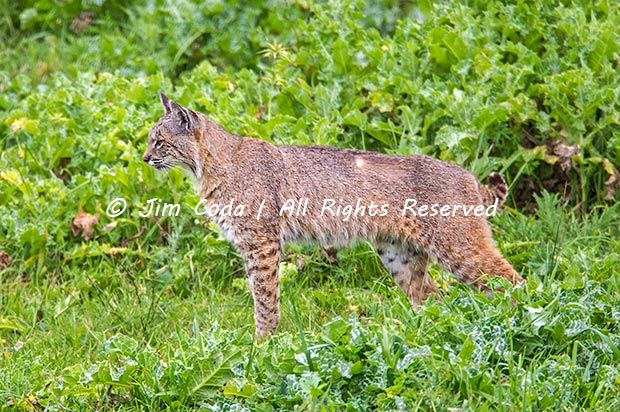 Photo of a bobcat with some lost fur.