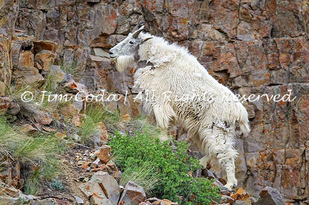 Photo of mountain goat.