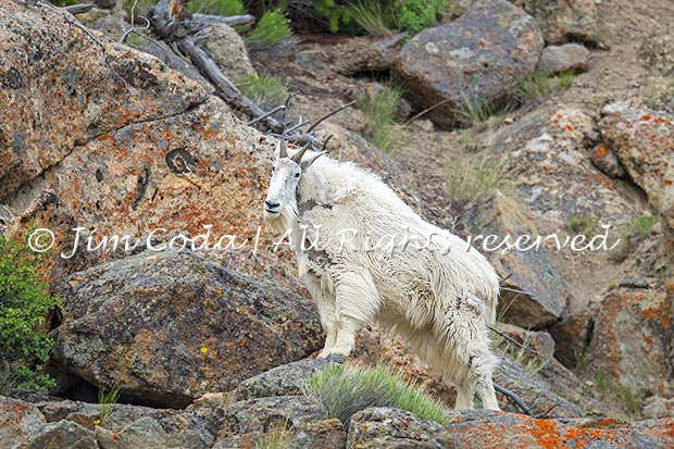 Photo of a billy (male) mountain goat.