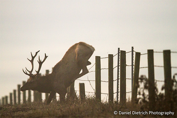 Photo of elk caught in too-tall fence.