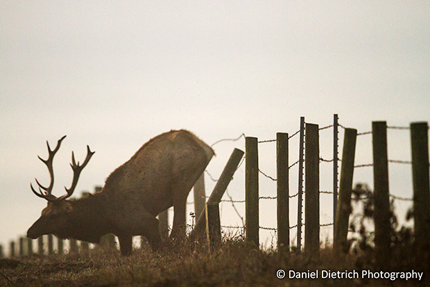 Photo of elk falling.
