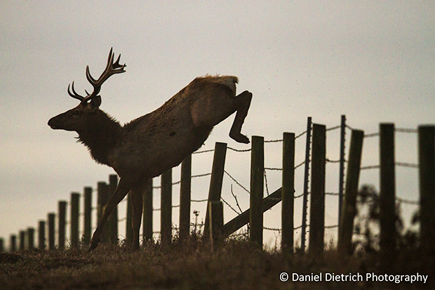 Photo of elk clearing fence.