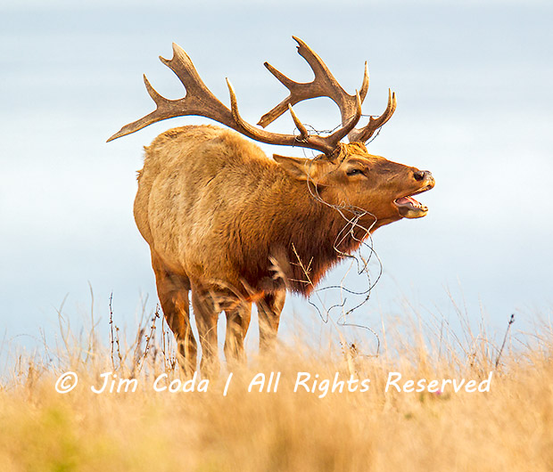 This is a photo of a bull tule elk with barbed wire caught in his hantlers.