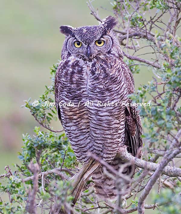 Great Horned Owl, Point Reyes National Seashore