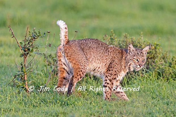 A male bobcat marks his territory by urinating on a shrub in Point Reyes National Seashore.